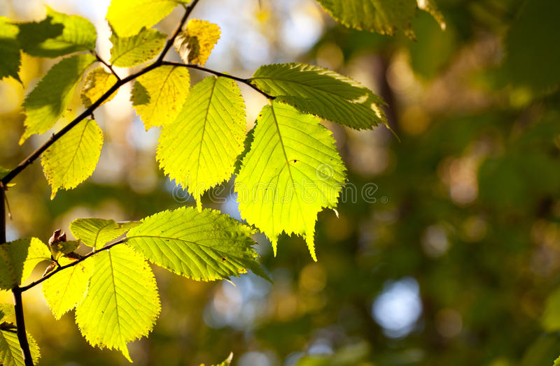 Fresh green leaves lit by the sun royalty free stock photo