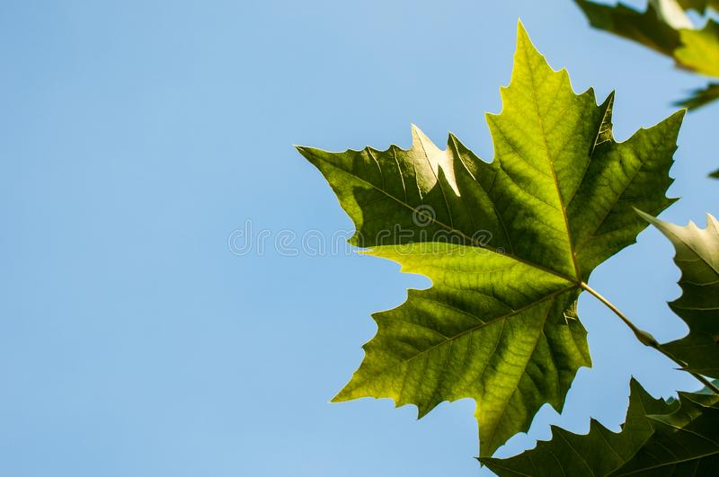 Fresh green leaves on a maple tree royalty free stock photos