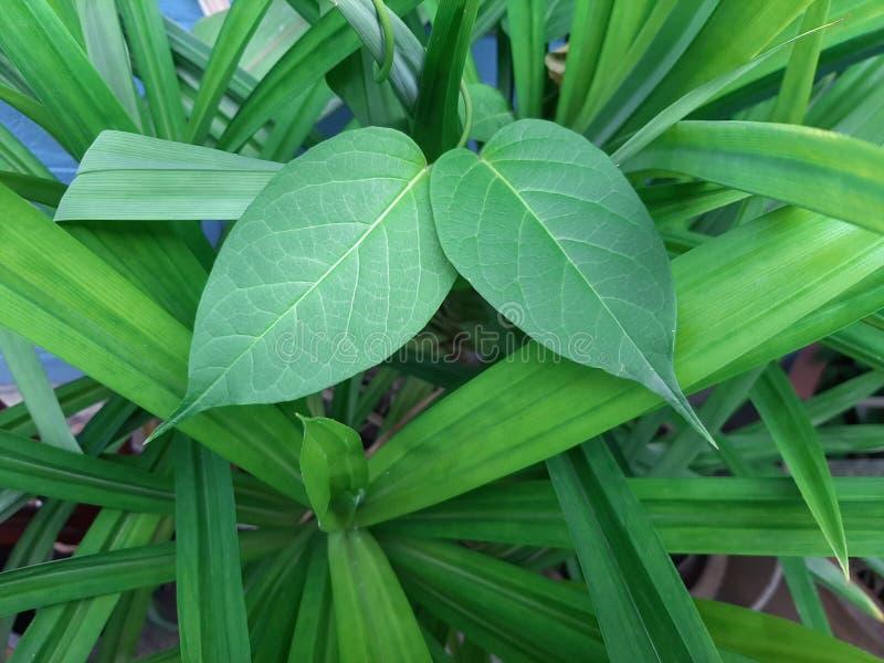 Fresh green leaves on Pandan tree background. Closeup fresh green leaves on Pandan tree, Pandanus amaryllifolius come background stock photo