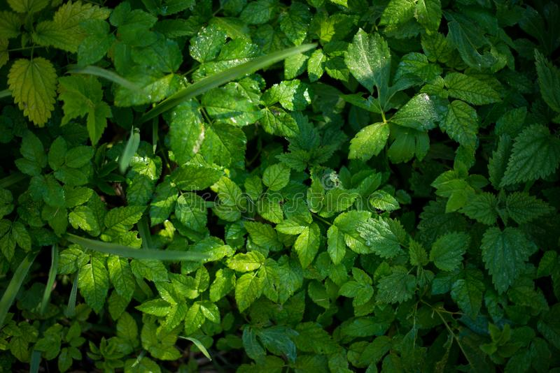 Fresh green leaves of plants. Forest nature background texture. royalty free stock photo