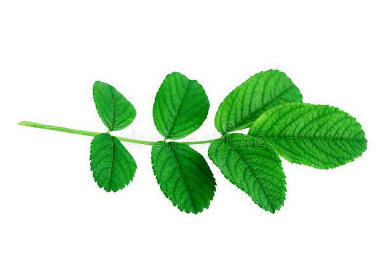 Fresh green leaves of rose plant or Rosa rugosa or Japanese rose isolated on white stock photos