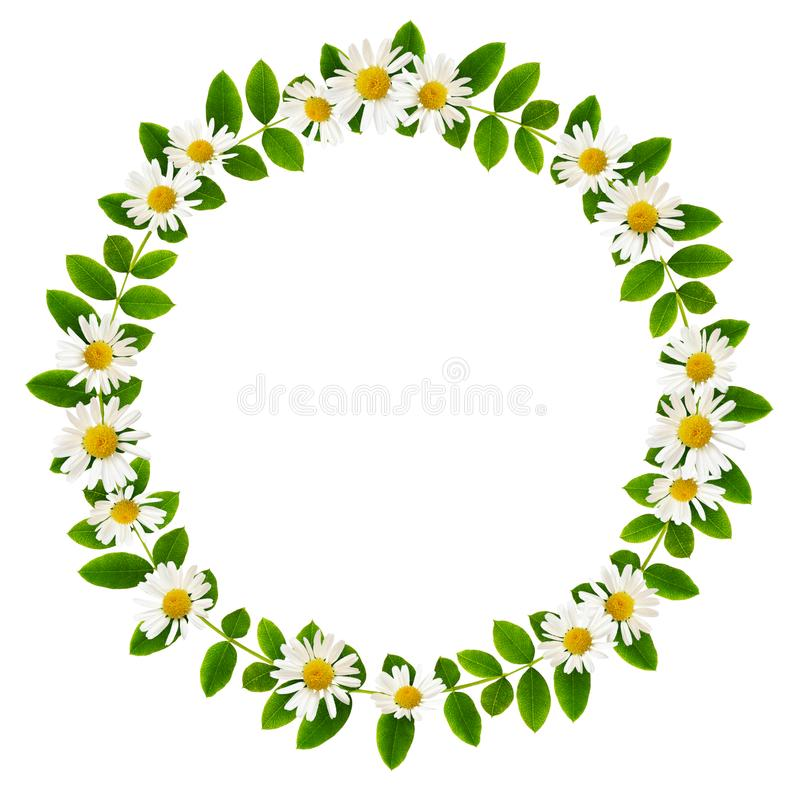Fresh green leaves of Siberian peashrub and daisy flowers in a r stock image