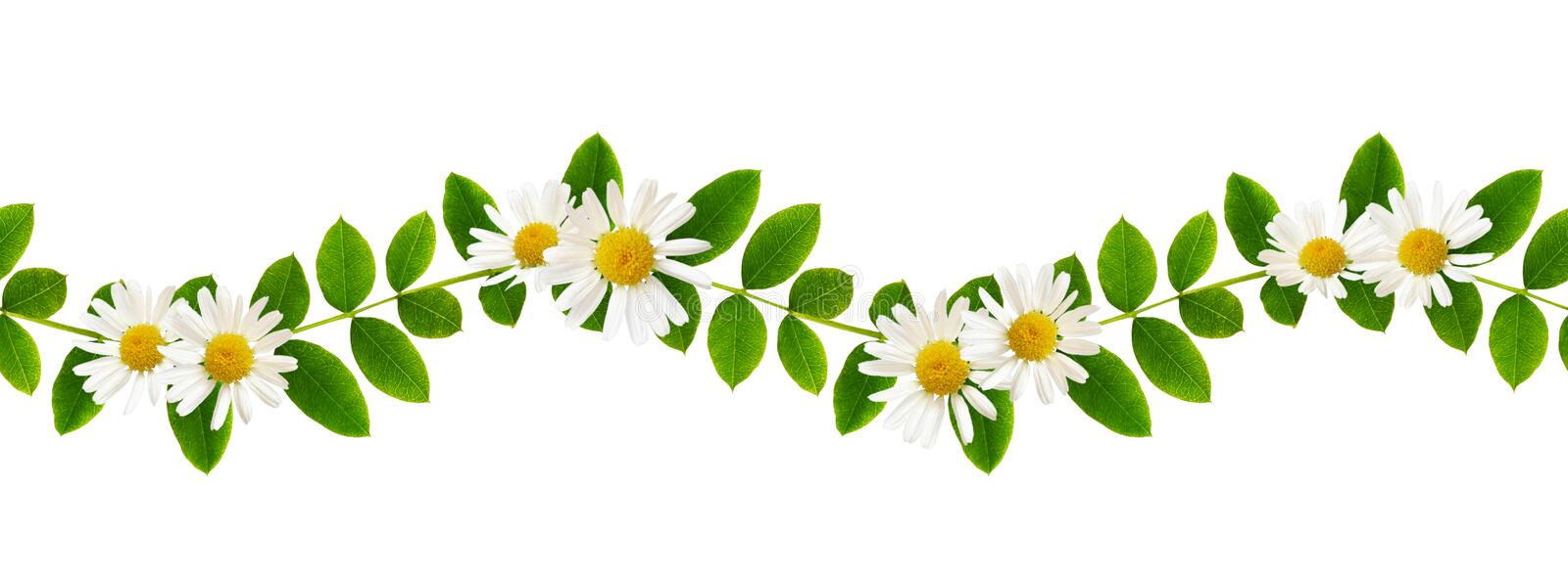 Fresh green leaves of Siberian peashrub and daisy flowers in sea stock photos
