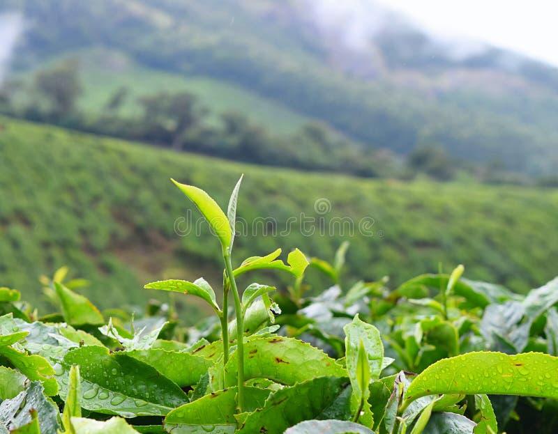 Fresh Green Leaves of Tea Plant - Camellia Sinensis - in Tea Plantation in Munnar, Kerala, India royalty free stock photos