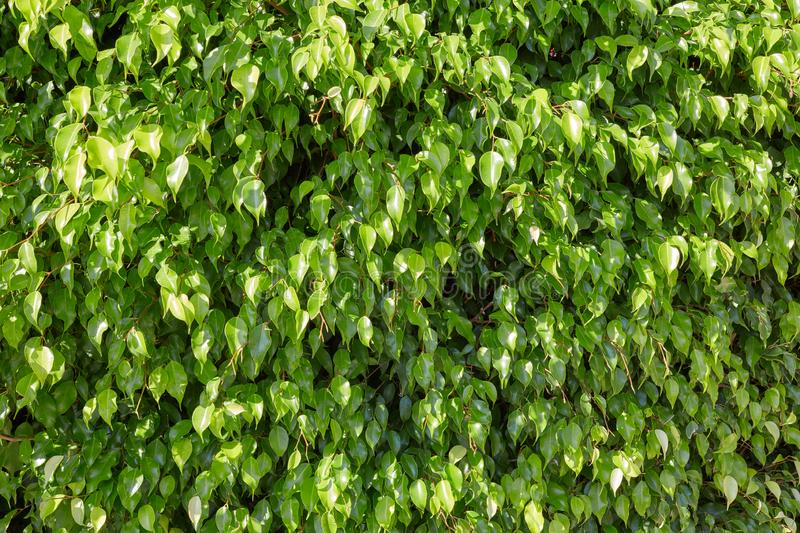 Fresh green leaves background in a sunny day royalty free stock images