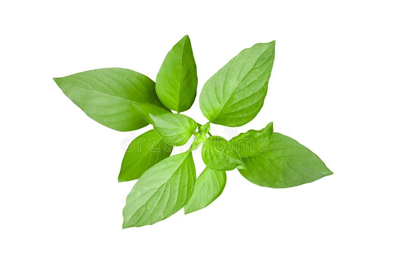 Fresh green leaves of Thai lemon basil or hoary basil tropical h. Erb plant isolated on white background, clipping path included royalty free stock images