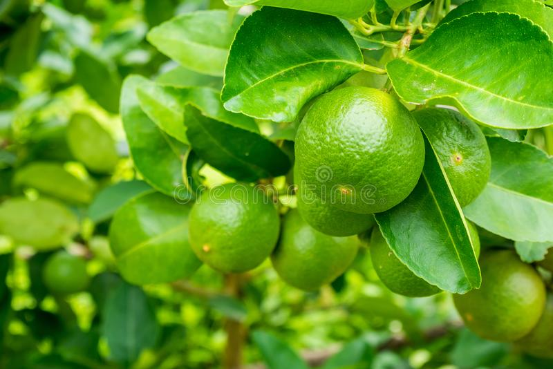 Fresh green lemon limes on tree in garden royalty free stock photo