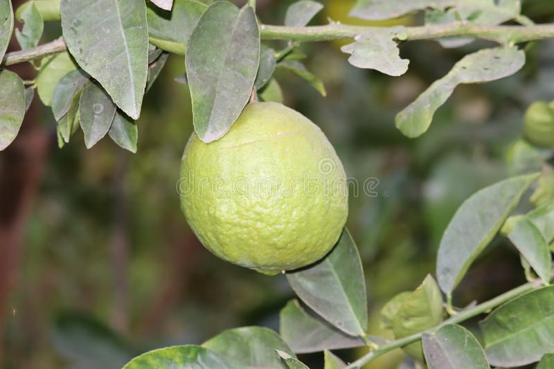 Fresh green lemon limes on tree in organic garden.Lime tree with fruits closeup stock photography