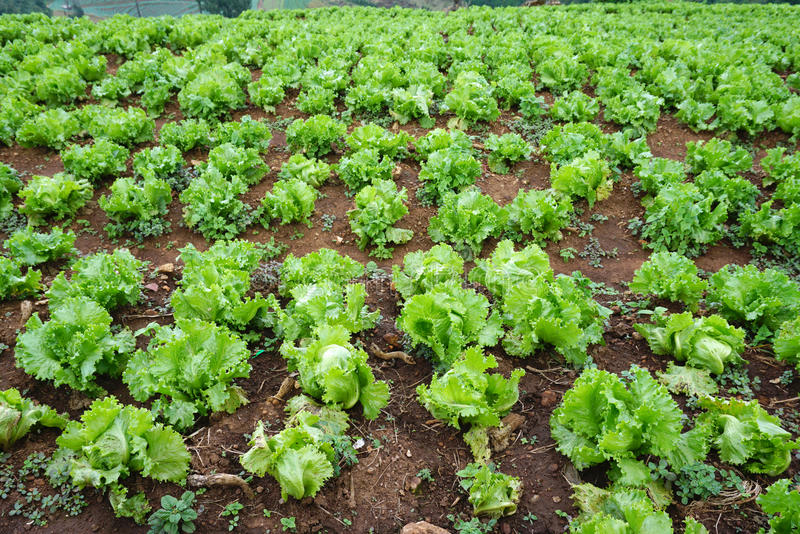 Fresh green lettuce on the ground in the farm royalty free stock photo