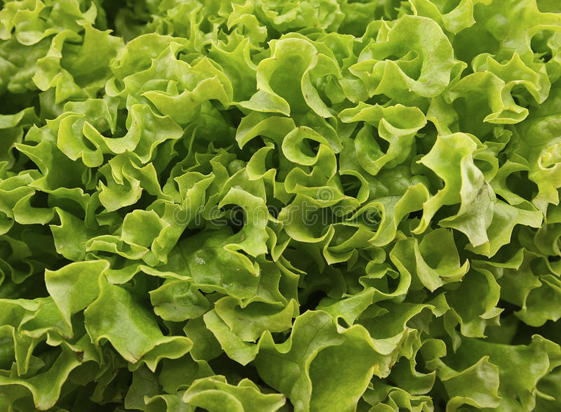 Fresh green lettuce salat on wooden background. Healthy food stock photo