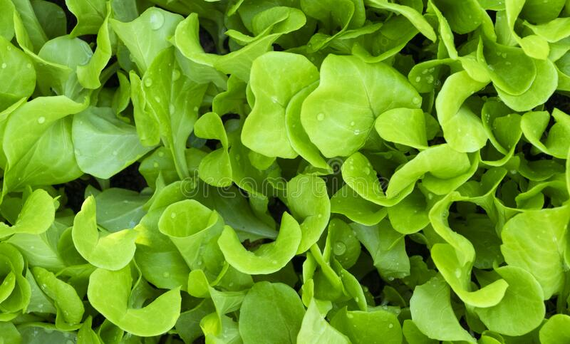 Fresh Green Lettuces. Top view image of fresh green lettuces with dew-drops in the garden for healthy food or vegetable background royalty free stock photography