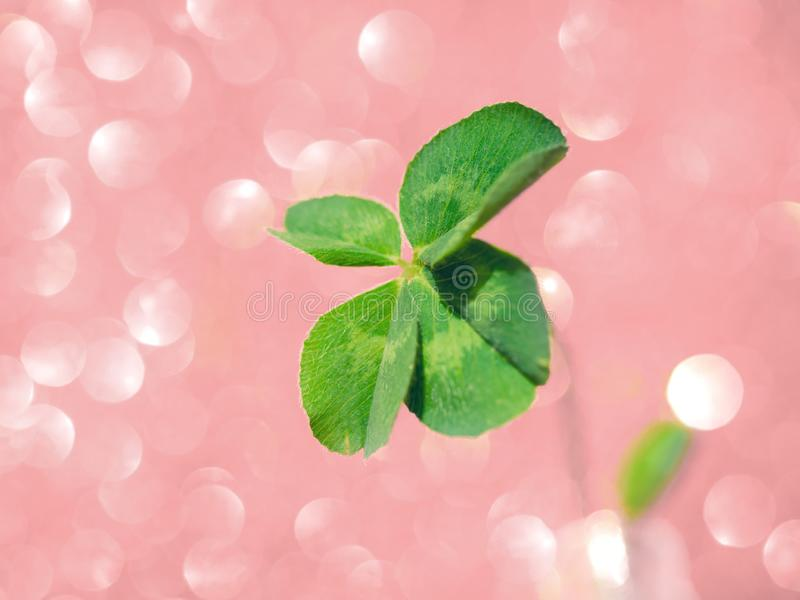 Fresh green lucky four leaf clover. On pink sparkling bokeh background. Design for your ad, poster, banner. Beautiful st patrick`s day concept royalty free stock photos