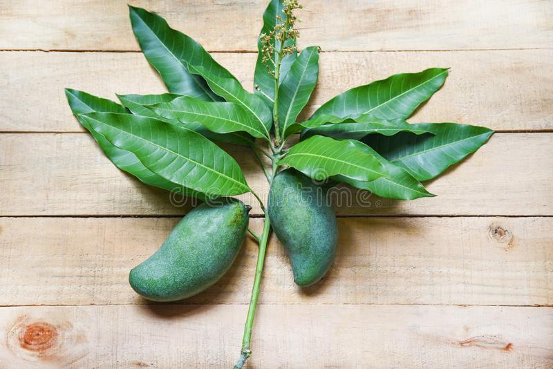 Fresh green mango and green leaves on wooden background / harvest mango raw summer fruit royalty free stock image