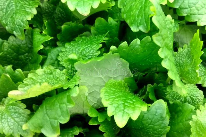 Fresh green melissa leaves background royalty free stock image