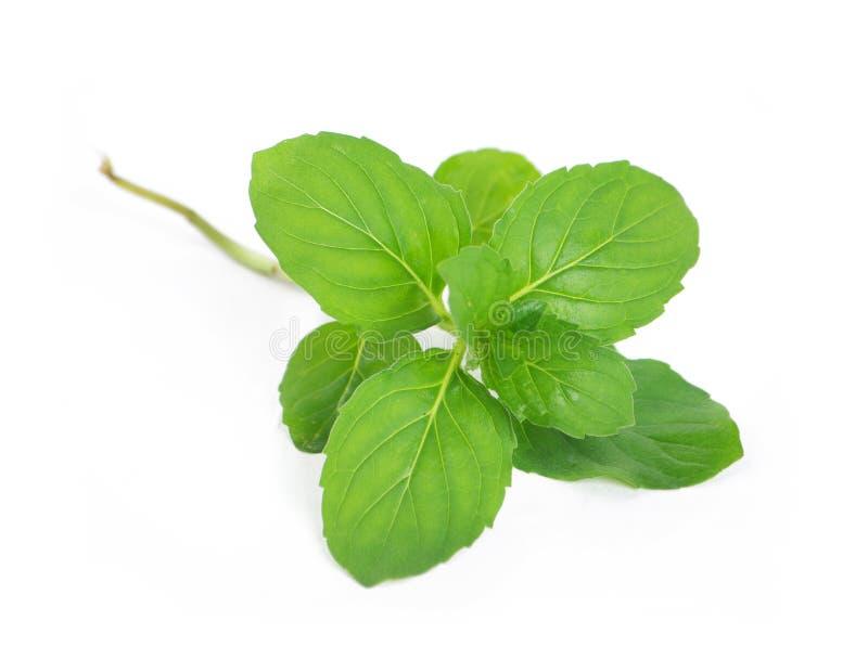 Fresh green mint stock photos