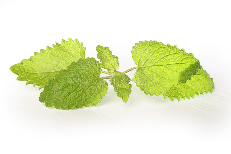 Download Fresh green mint stock image. Image of spearmint, leaf - 13262283