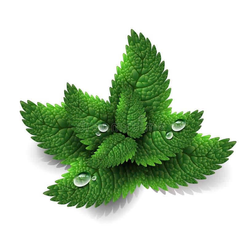 Fresh green mint leaves vector illustration