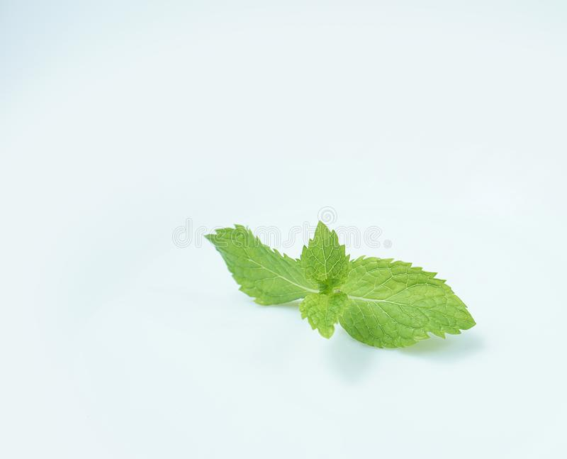 Fresh Green Mint Leaves isolated on white background stock photography