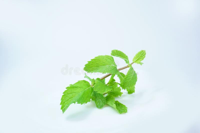Fresh Green Mint Leaves isolated on white background royalty free stock images