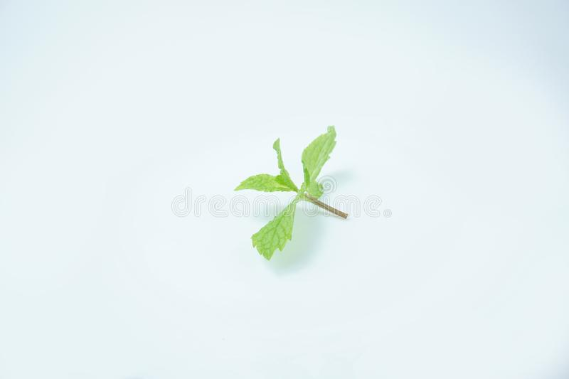 Fresh Green mint leaves isolated on white background royalty free stock image