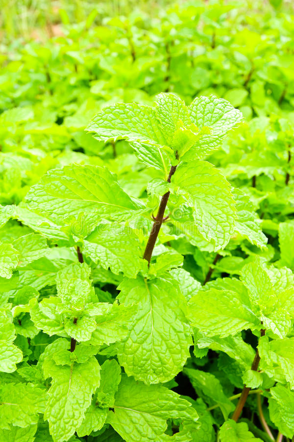 Free Fresh Green Mint Plant Royalty Free Stock Photos - 26298428