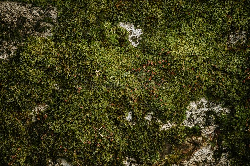 Fresh green moss wall. In early spring royalty free stock photos