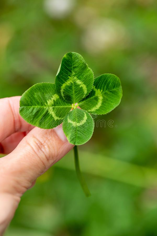 Fresh green natural large four-leaf clover in hand between fingers on the background of the field.. royalty free stock image