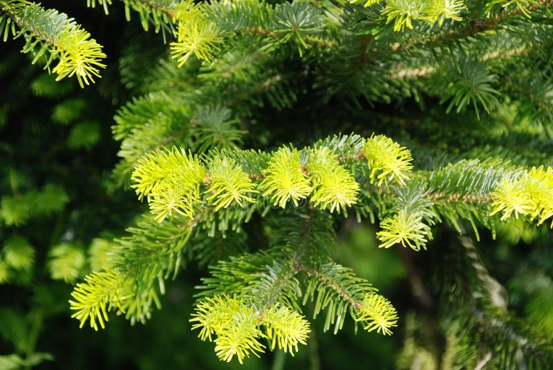 Fresh Green Needles on Christmas Tree. Growing fir tree, conifer has fresh leaves, coniferous tree in spring royalty free stock photos