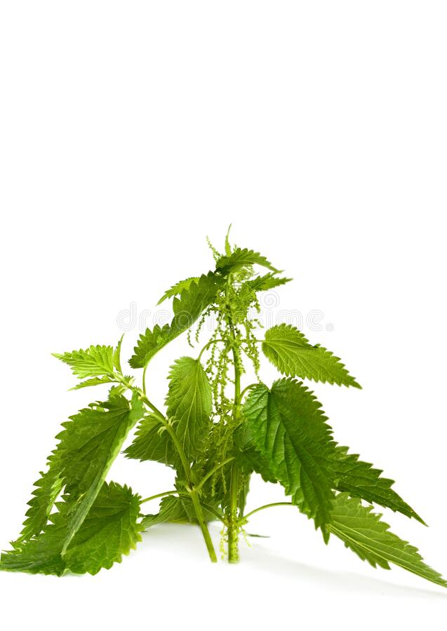 Fresh green nettle on a white background royalty free stock photos