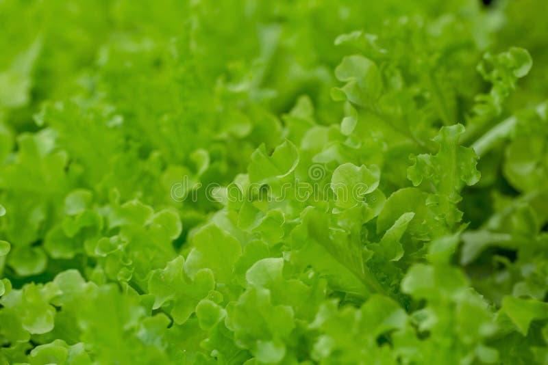 Fresh Green Oak lettuce leaves, Salads vegetable hydroponics farm. royalty free stock image