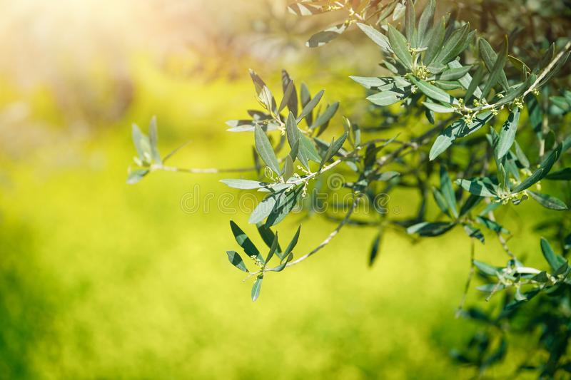 Fresh green olive tree branches stock photos