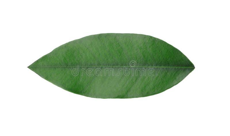 Fresh green orange leaf. Isolated on white stock image