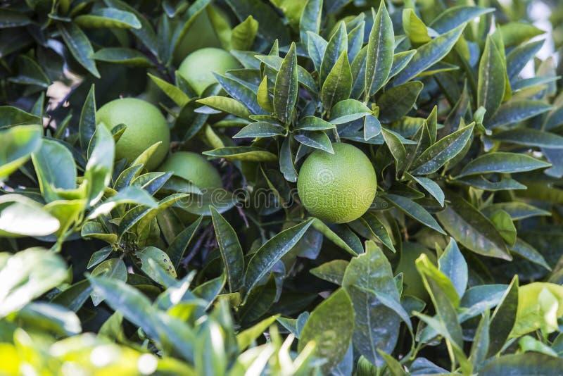 Fresh green orange on tree. Orange garden grove in the sun.  stock image