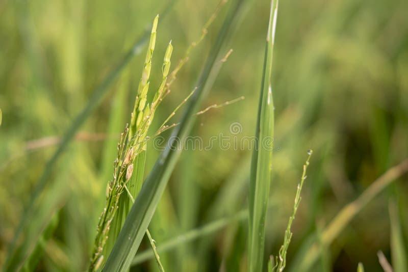 Fresh Green Paddy from Sukoharjo. Fresh green paddy close-up in morning royalty free stock photo