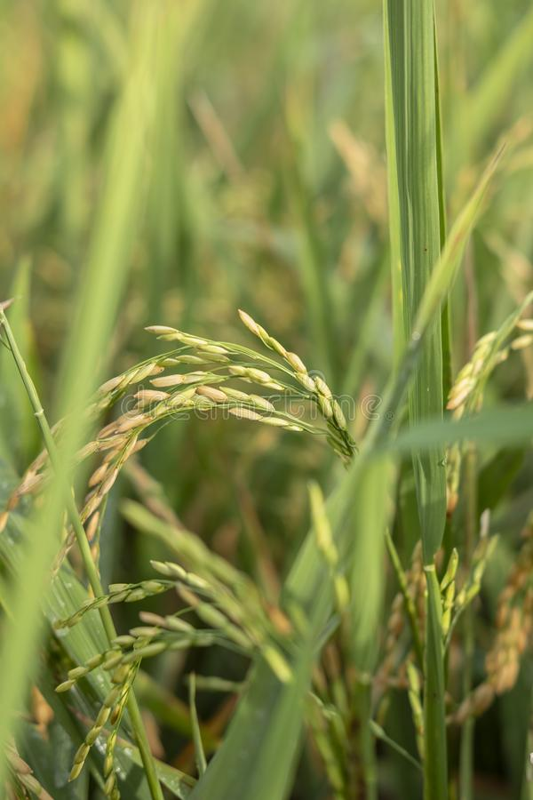 Fresh Green Paddy from Sukoharjo. Fresh green paddy close-up in morning stock images
