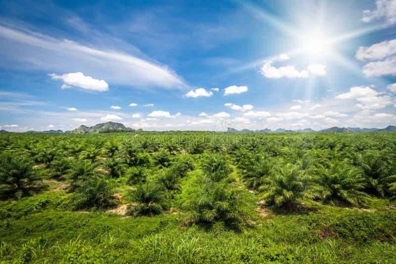 Fresh green palm oil farm plantation. Agriculture royalty free stock photo