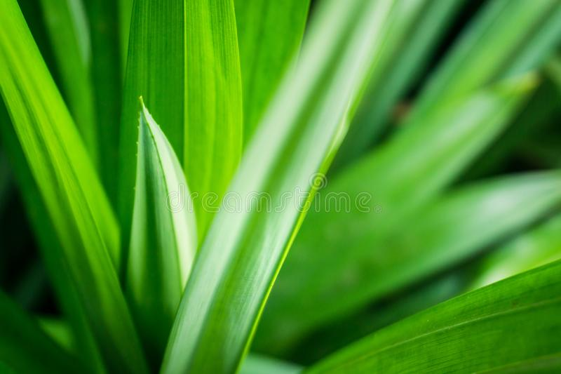 Fresh green pandan leaves with copy space, blurred bokeh and sunshine background in a garden, nature concept.  stock image
