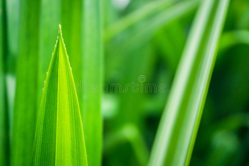 Fresh green pandan leaves with copy space, blurred bokeh and sunshine background in a garden, nature concept. Abstract beautiful closeup color colorful greenery stock photo