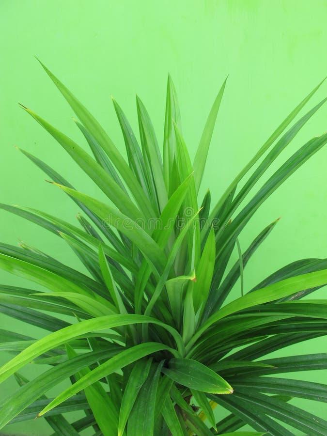 Fresh green pandanus leaves, pandan`s long leaf.  stock images