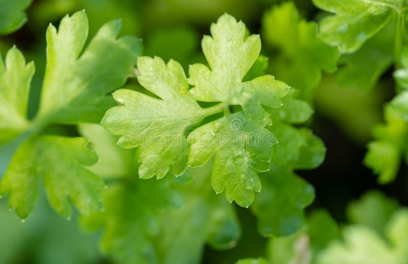 Fresh green parsley Petroselinum crispum leaves royalty free stock photo