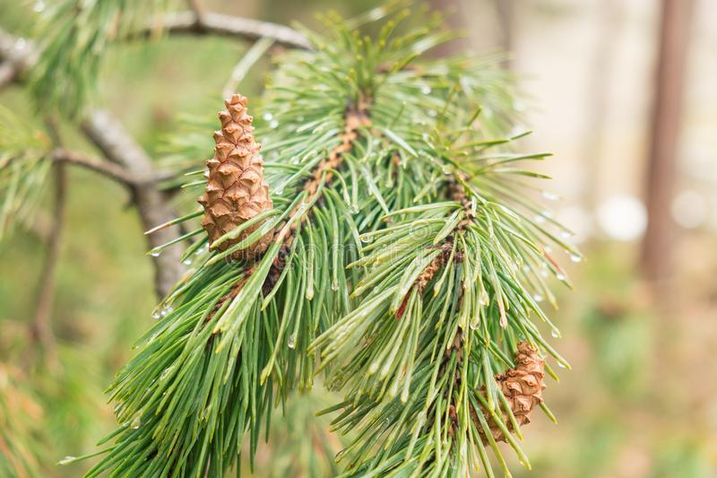 Fresh green pine branch with water drops with young brown cones royalty free stock photos