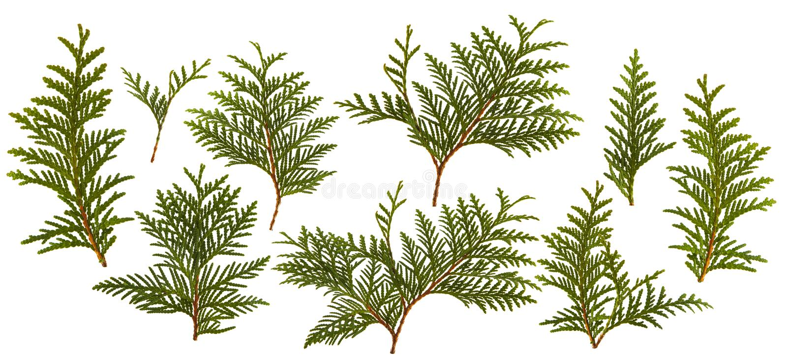 Fresh green pine leaves isolated royalty free stock photo