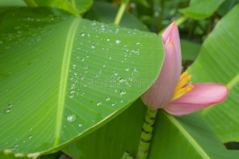 Fresh green pinnately parallel venation leaf pattern with water droplets, pink petals of flowering Banana blooming stock photo