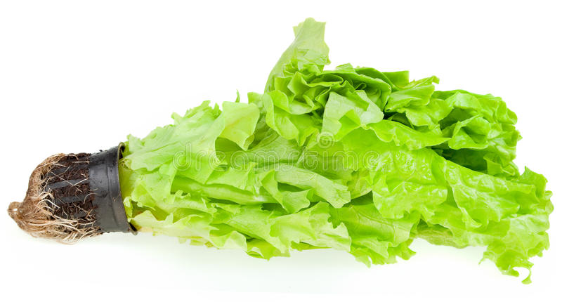 Download Fresh green plant lettuce stock image. Image of growth - 13027041