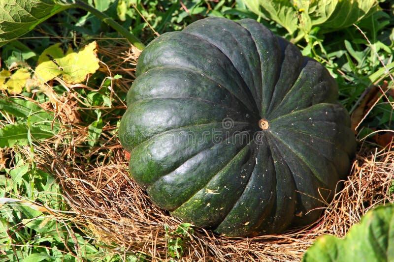 Fresh green pumpkin on a garden bed. Fresh green pumpkin on a garden bed taken closeup royalty free stock photo