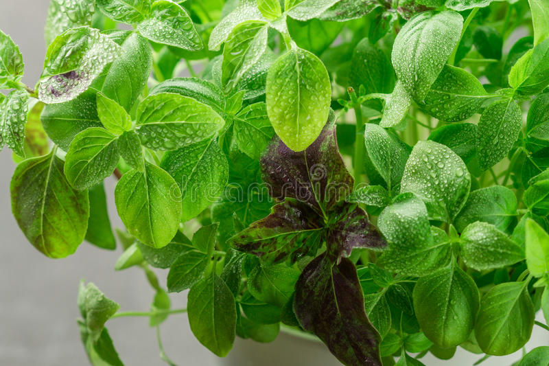 Fresh green and purple Basil with water drops closeup. Herbs. Selective focus stock photos