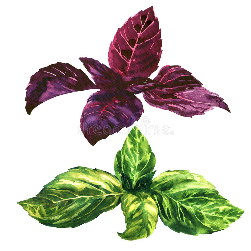 Fresh green and purple, red, basil leaves, isolated, watercolor illustration. Fresh green and purple (red) basil leaves, tops, isolated, watercolor illustration vector illustration