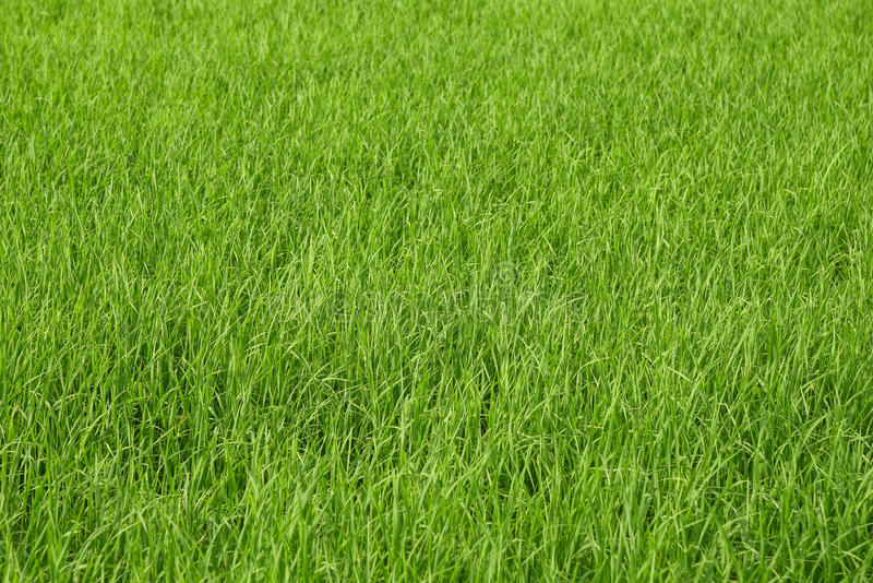 Fresh green rice field background stock images