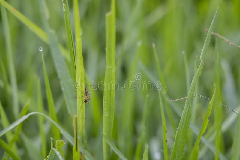 Fresh Green Rice Leaves from Sukoharjo. Fresh green grass with dew drops close up in morning stock image