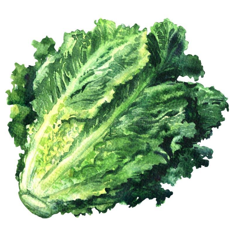 Fresh green romain lettuce isolated, watercolor illustration on white vector illustration